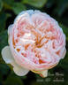 William Morris rose photo