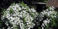 Rambling Rector rose photo