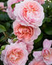 Strawberry Hill rose photo