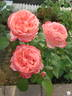 Sweet Mademoiselle ™ rose photo