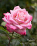 Pinkerbelle™ rose photo