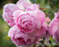 Huntington Rose rose photo