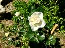Margaret Merril rose photo