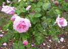 Lady Alice Stanley rose photo