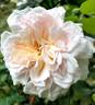 Cymbaline rose photo