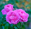 Mary Rose ® rose photo