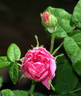 R. gallica officinalis rose photo