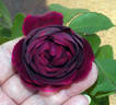Celestial Night ™ rose photo