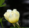 Golden Wings rose photo