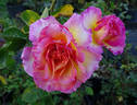 La Parisienne ™ rose photo