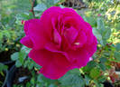 Mauvelous rose photo